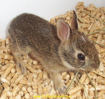Baby cottontail rabbit - photo#18